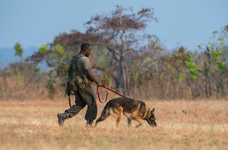 A dog handler on his way out with a dog for the daily training session. These dogs are used for anti poaching purposes and are trained to sniff out for example rhino horn, pangolin scales and ammunition. North Luangwa National Park, Zambia. © Daniel Rosengren / FZS