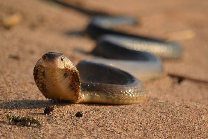 The water cobra is one of many animals found in Nsumbu NP, Zambia. © Craig Zytkow / FZS