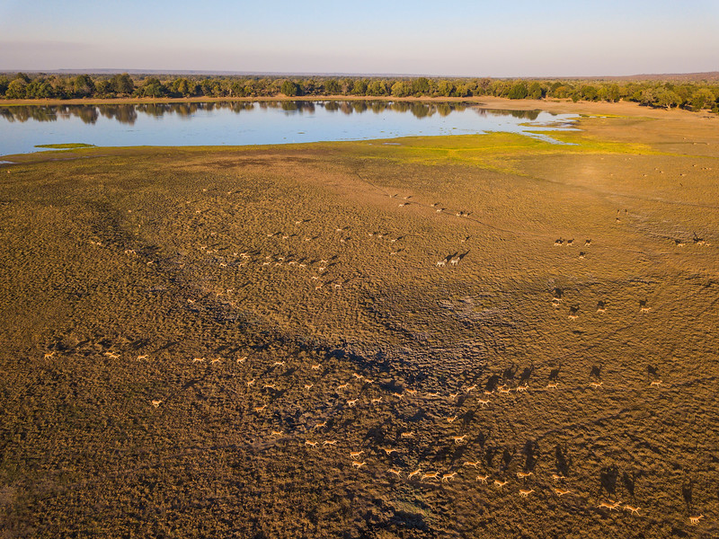 A large group of Impala by the Tembwahata water pan in Gonarezhou National Park, Zimbabwe. © Daniel Rosengren / FZS