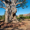 A Baobab tree in Gonarezhou NP, Zimbabwe. Since the elephant population in the area has gone up, these trees are suffering severe damage and often get killed. There is a discussion wether we should protect the trees or not, until any decision is made the trees are protected for now, here with rocks around the tree. Gonarezhou National Park, Zimbabwe. © Daniel Rosengren / FZS