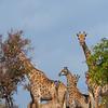 Giraffes in Gonarezhou National Park, Zimbabwe. © Daniel Rosengren / FZS