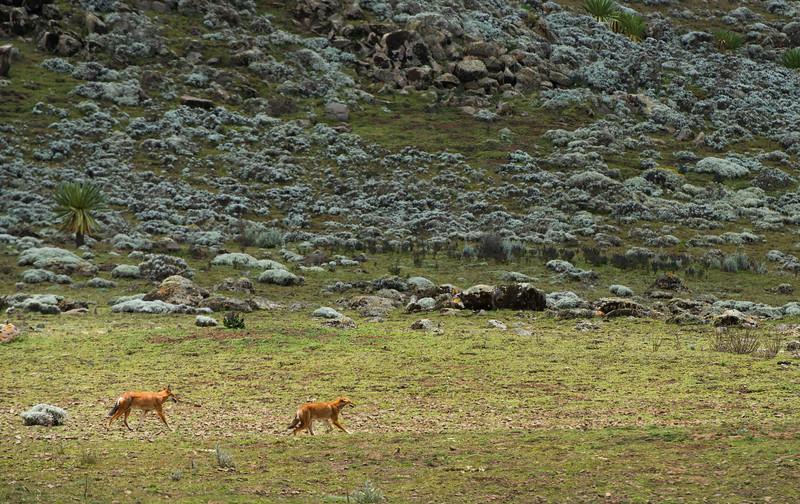 Ethiopian Wolves on the Sanetti Plateau in Bale Mountains NP, Ethiopia. © daniel rosengren