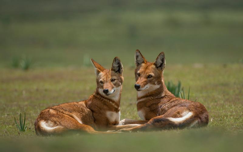 Two Ethiopian wolves in Bale Mountains NP,  Ethiopia. © daniel rosengren