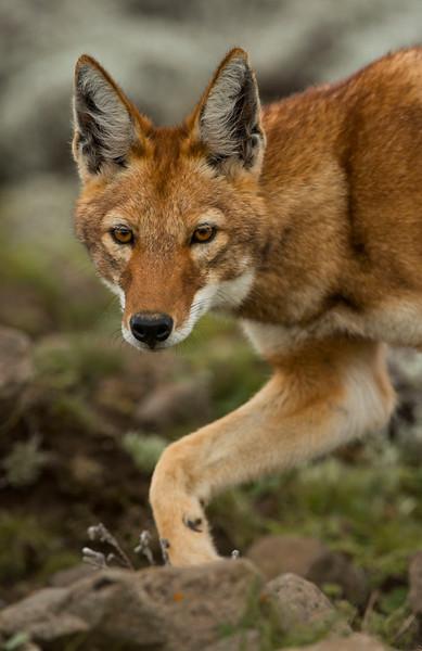 An Ethiopian Wolf on the Sanetti Plateau in Bale Mountains NP, Ethiopia. © daniel rosengren
