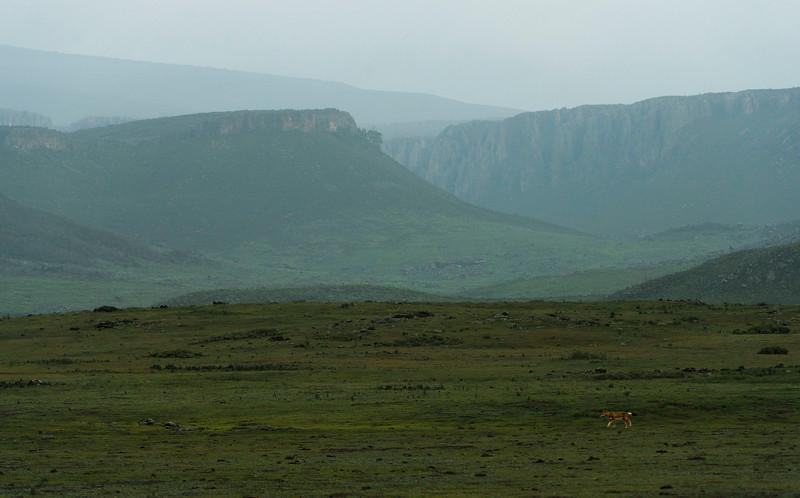 An Ethiopian Wolf in Bale Mountains NP, Ethiopia. © daniel rosengren
