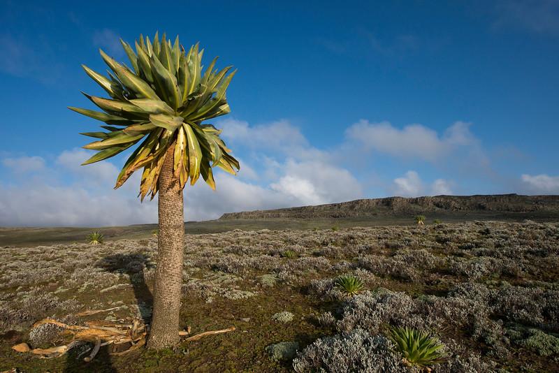 The Giant Lobelia is endemic to Ethiopia. Bale Mountains NP, Ethiopia. © daniel rosengren