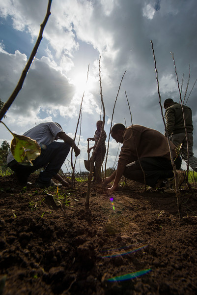Apple seedlings donated by FZS are being planted to help villagers around Bale Mountains NP, Ethiopia. © daniel rosengren