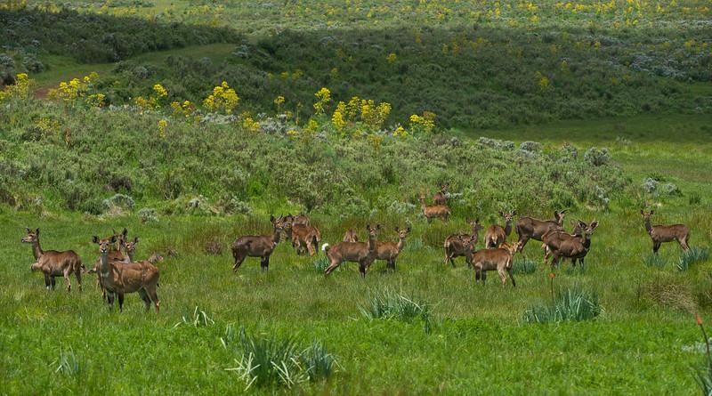 Mountain Nyalas are endemic to the Bale massif in Ethiopia. © Daniel Rosengren