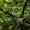 A white cheeked Turaco in the Harenna Forest in Bale Mountains NP; Ethiopia. © daniel rosengren