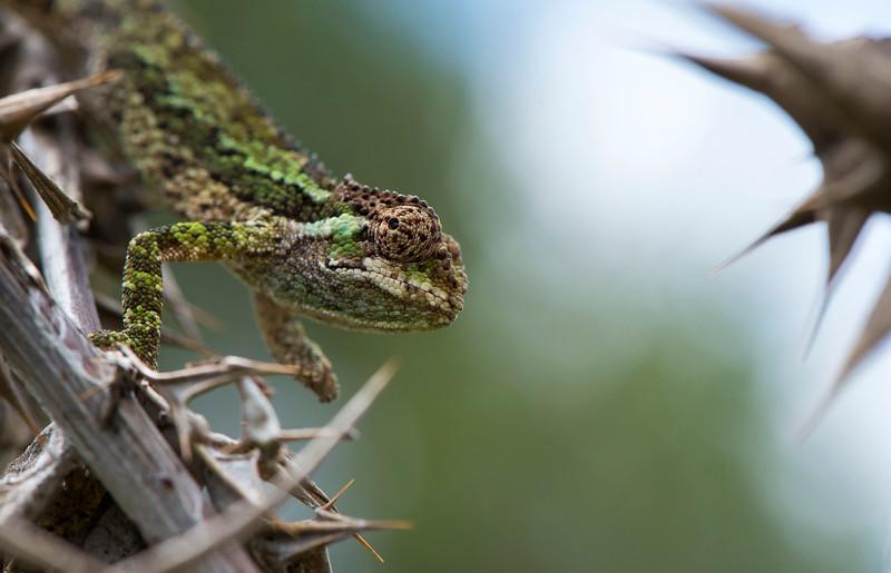 A chameleon in Bale Mountains NP, Ethiopia. © daniel rosengren