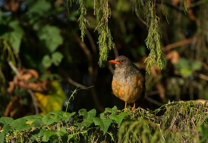 Mountain thrush, Bale NP, Ethiopia. © Daniel Rosengren