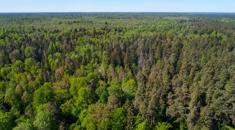 The forest in Bialowieza National Park, Belarus. © Daniel Rosengren / FZS