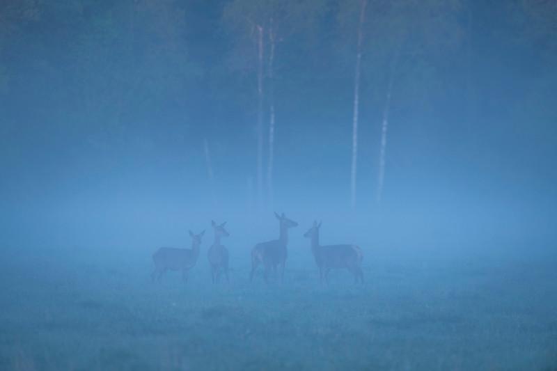 Red Deer seen in the fog at sunrise in theBialowieza National Park, Belarus. © Daniel Rosengren / FZS