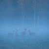 Red Deer seen in the fog at sunrise in theBialowieza National Park, Belarus. © Daniel Rosengren / FZS