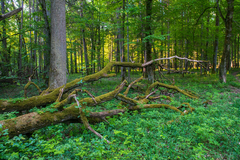 Dead wood is full of life and food for other species and an important part of a living forest. Bialowieza National Park, Belarus. © Daniel Rosengren / FZS