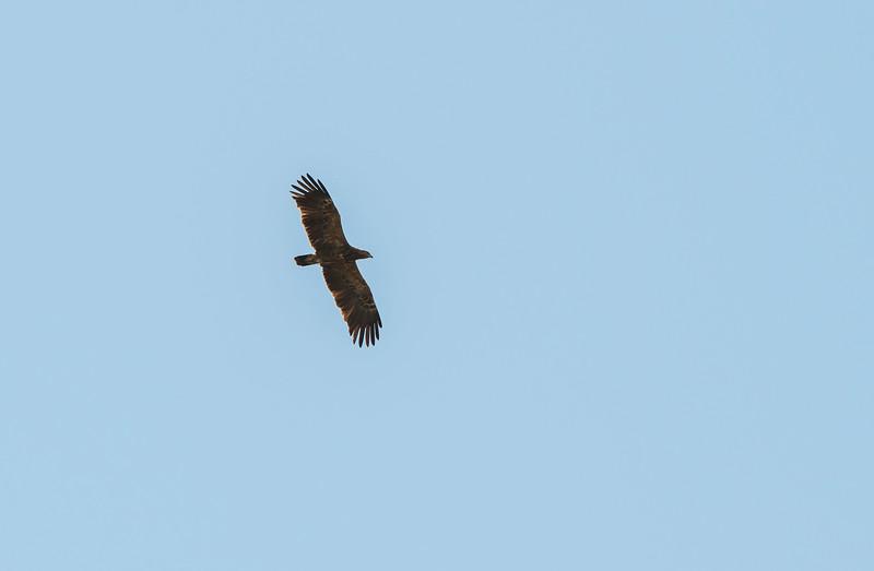 A Lesser Spotted Eagle in the Bialowieza National Park, Belarus. © Daniel Rosengren / FZS