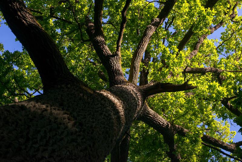 An old Oak tree in the Bialowieza National Park, Belarus. © Daniel Rosengren / FZS