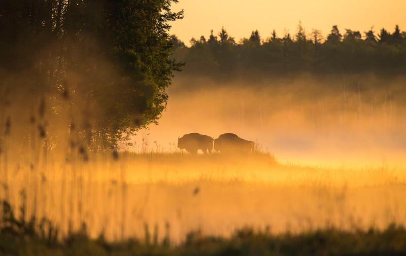 European Bison seen in the fog at sunrise in the Bialowieza National Park, Belarus. © Daniel Rosengren / FZS