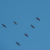 Cranes migrating over the Lieberose area. Brandenburg, Germany. © Daniel Rosengren / FZS