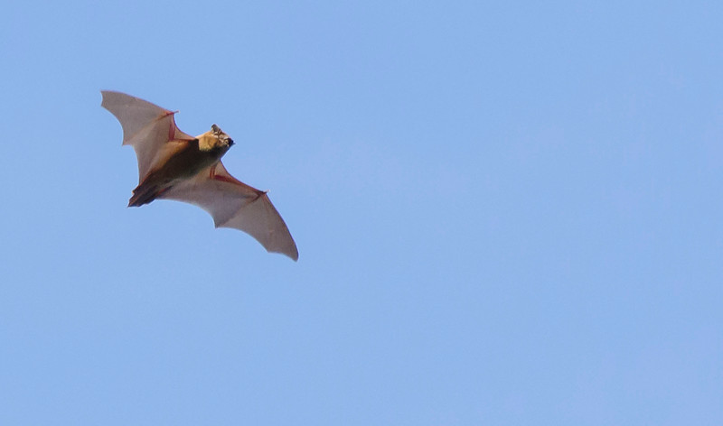 A Common noctule (Nyctalus noctula) flying in Germany. © Daniel Rosengren / FZS
