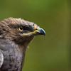 A Lesser Spotted Eagle in an enclosure in the Bayerischer Wald NP, Germany. © Wildnis-in-Deutschland.de, Daniel Rosengren / FZS