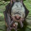 Bechstein's bats roosting in an old military bunker. Jüterbog, Brandenburg, Germany. © Daniel Rosengren / FZS