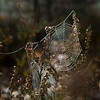 Morning dew in spider web. Lieberose, Brandenburg, Germany. © Daniel Rosengren / FZS