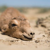 Newborn Saiga calves lie still on the ground before they can follow their mother, Kazakhstan. © Daniel Rosengren