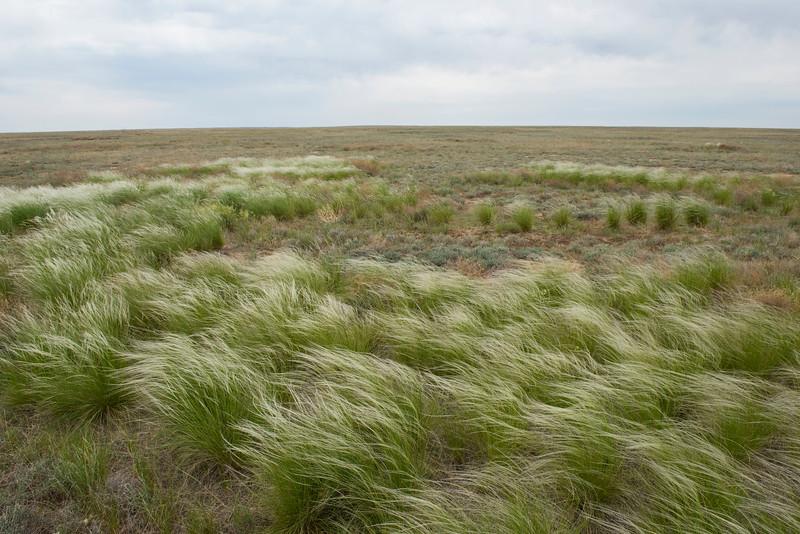 Feather grass is a beautiful plant of the steppe, Irgiz-Turgai, Kazakhstan. © Daniel Rosengren / FZS