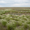 Feather grass is a beautiful plant of the steppe, Irgiz-Turgai, Kazakhstan. © Daniel Rosengren / FZS