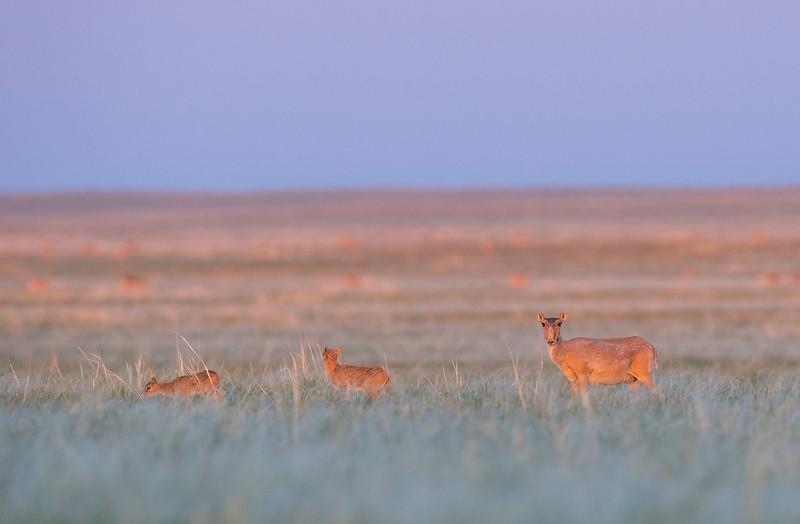 Saiga females often give birth to two calves. Saigas start grazing at a very young age, Kazakhstan. © Daniel Rosengren