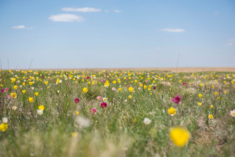 Wild Tulips flowering in different colours in Central Kazakhstan. © Daniel Rosengren / FZS
