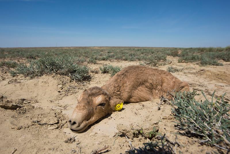 Each handled saiga calf gets an ear tag, this will help future research and estimating mortality rates. Irgiz-Turgai, Kazakhstan. © Daniel Rosengren