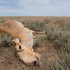 Saigas are known for having regular mass die-offs. Central Kazakhstan. © Daniel Rosengren / FZS