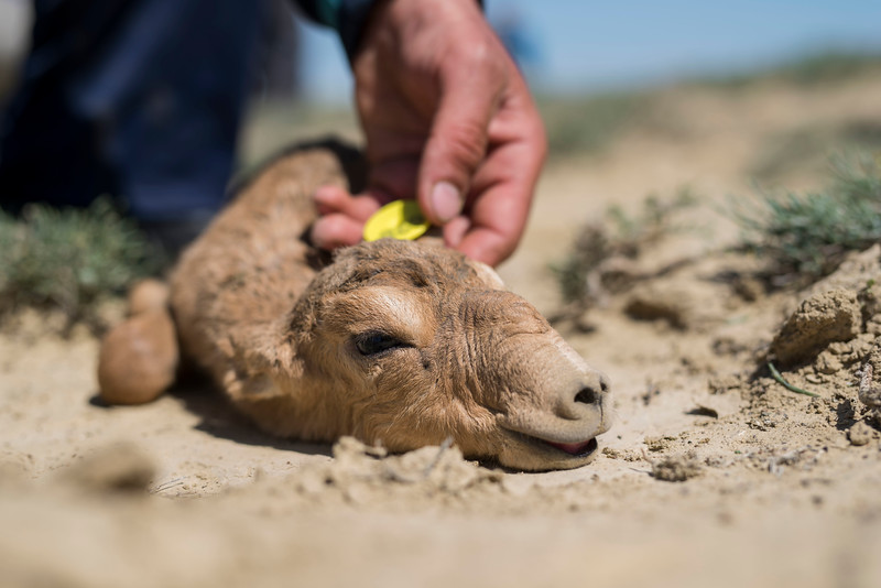 A newborn Saiga lying on the ground with a freshly attached ear tag for research purposes. Irgiz-Turgai reserve, Kazakhstan. © Daniel Rosengren