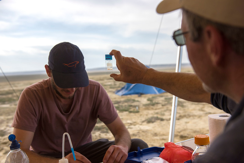 A vet team preparing blood smears from blood collected from a Saiga calf for research purposes. Central Kazakhstan. © Daniel Rosengren / FZS