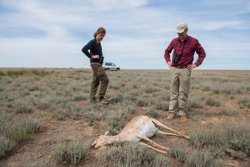 Saigas a known to have regular mass die-offs. FZS project manager Steffen Zuther to the left and Dr. Richard Kock (professor at the department of Pathology and Population Sciences) are seen here collecting data to solve the question why the die-off occur. © Daniel Rosengren / FZS