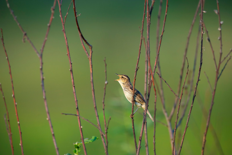 Polesia is the most important breeding area for the Aquatic Warbler. Photographed in the Pripiat-Stokhid National Park near the town of Sudche in the Polesie area, Ukraine. © Daniel Rosengren / FZS