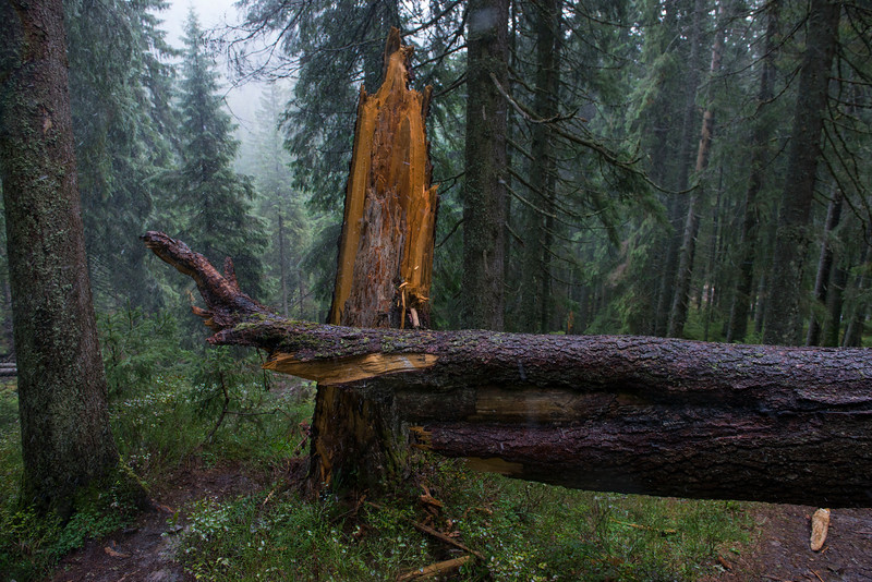 Old growth Norwegian Spruce forest in the Carpathian Natural Nature Park, Ukraine. © Daniel Rosengren / FZS