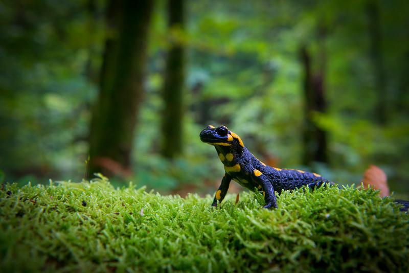 A Fire Salamander in the Carpathian Biosphere Reserve, Ukraine. © Daniel Rosengren / FZS