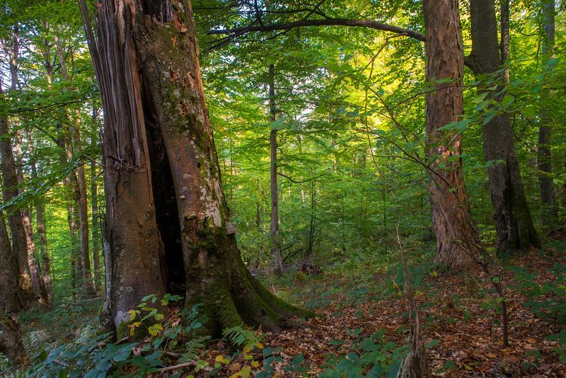 An old growth Beech forest in Uzhanskiy National Nature Park, Ukraine. © Daniel Rosengren / FZS