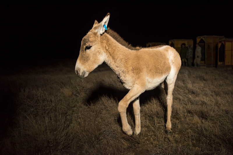 A Kulan foal that has just been released into the 55 ha enclosure at Alibi, Altyn Dala, Kazakhstan. Kulans are now back in the area after having been extinct since the late 18-hundreds. © Daniel Rosengren