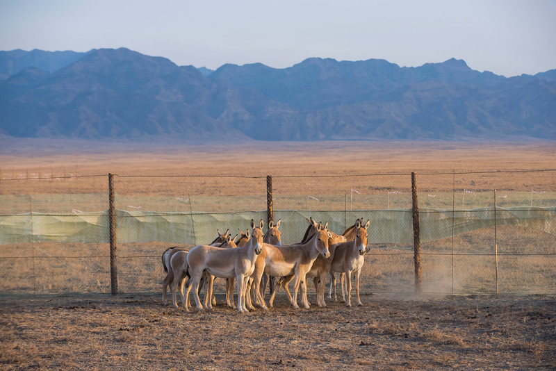 Kulans captured in the corral in the Altyn Emel NP, Kazakhstan. © Daniel Rosengren
