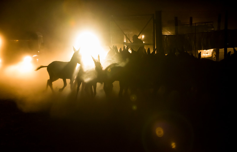 Kulans being herded by cars at night towards a capturing corral to be relocated to Altyn Dala. Altyn Emel NP, Kazakhstan. © Daniel Rosengren