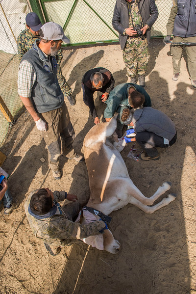 A Kulan being collared and sampled before being boxed for the transport to the re-introduction site at Altyn Dala. Altyn Emel NP, Kazakhstan. © Daniel Rosengren