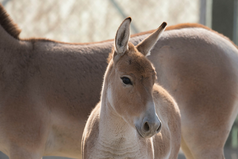 A Kulan foal captured in the coral in the Altyn Emel NP, Kazakhstan. © Daniel Rosengren