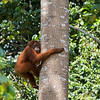 A pregnant female orangutan, Violet, seen near the Sumatran Orangutan Rescue Centre, near Bukit Tigapuluh, Sumatra, Indonesia. Orangutans like this one, have been taken care of from being illegally kept in captivity. They get trained by FZS trainers in a so called Jungle School where they learn how to survive in the rainforest. When they are ready, they are released into the wild. © Daniel Rosengren