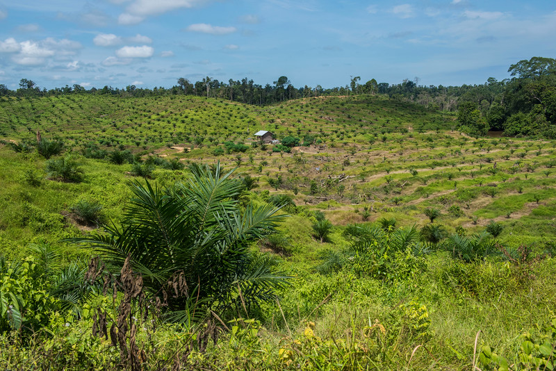 About one year ago, this was all rain forest. Now it is an oil palm plantation. Near Bukit Tigapuluh, Sumatra, Indonesia. © Daniel Rosengren