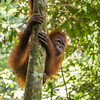 A young orangutan (Kedaung) out on jungle school. Before being released, orangutans need to learn several skills so they can survive better. They learn to stay up, away from the ground (where tigers may roam), what can be eaten and climbing skills. Open Orangutan Sanctuary, near Bukit Tigapuluh, Sumatra, Indonesia. © Daniel Rosengren