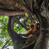 A young Orangutan (Suro) out on Jungle School to learn how to survive in freedom. Orangutans are taken care of from illegal lives in captivity to be set free in Bukit Tigapuluh. At the Field station at Open Orangutan Sanctuary, near Bukit Tigapuluh, Sumatra, Indonesia. Sitting in a Strangler fig. © Daniel Rosengren
